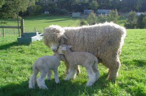 Romney_Ewe_and_Lamb